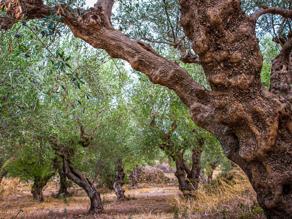 Ore 15.15 - Visita Frantoio & Degustazione Olio